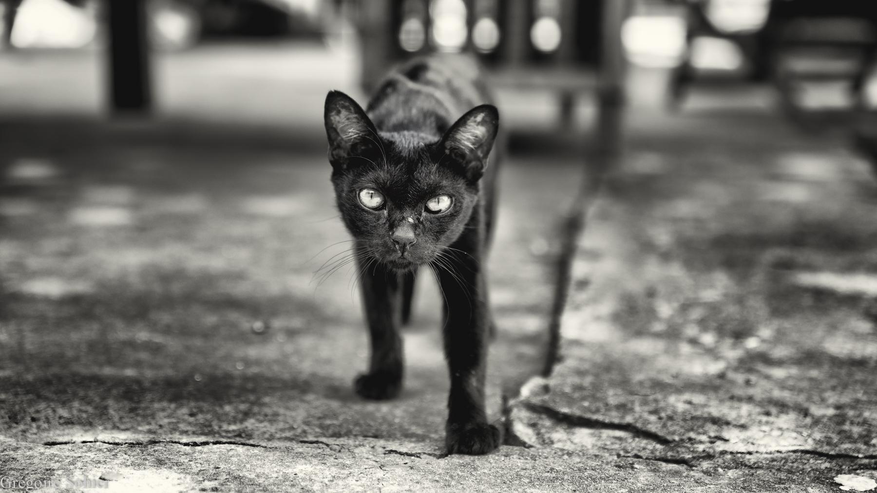 lopburi-cat